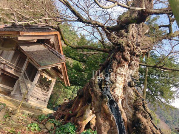 命主社 ムクの巨木