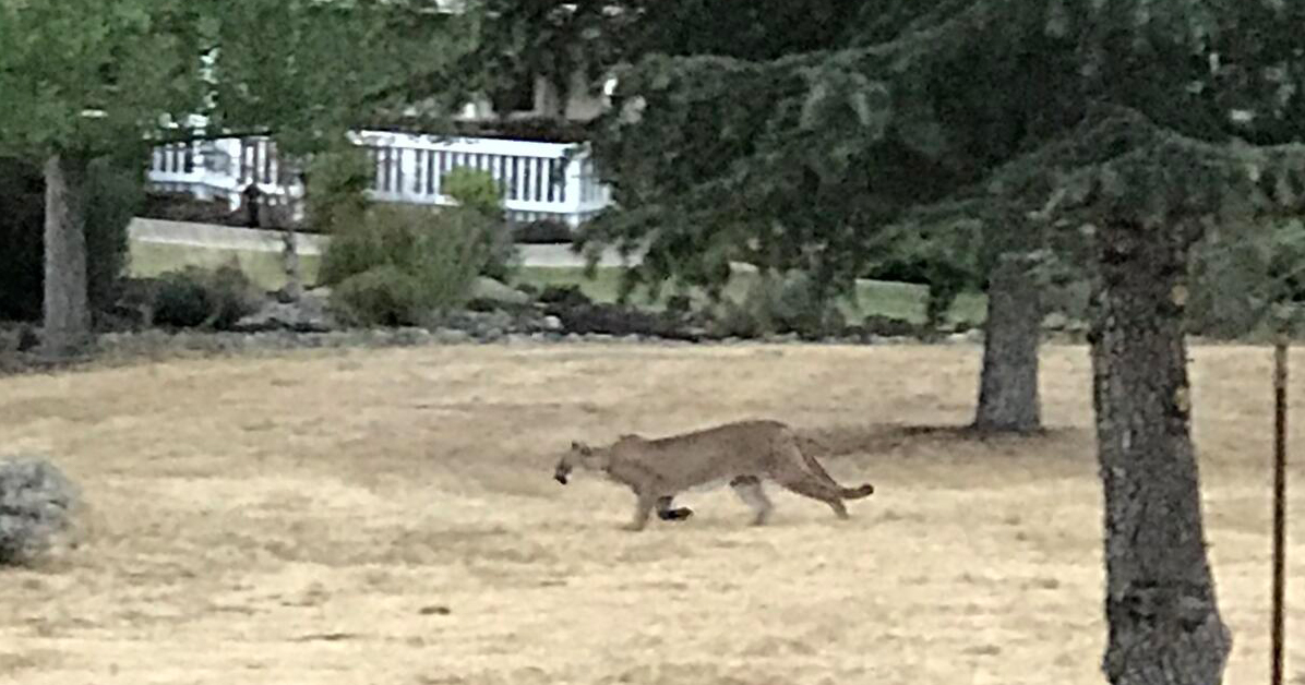 Mountain Lion Attacks in Atascadero