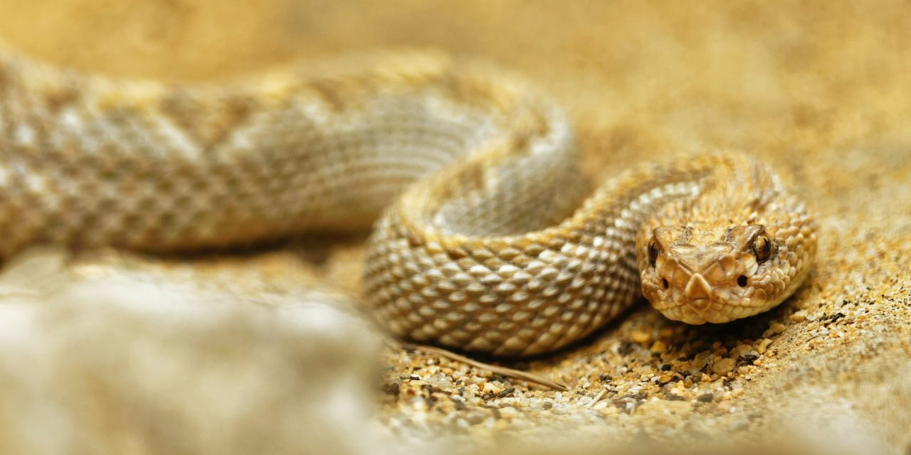 Cal Poly Posts First-Ever Livestream of Rattlesnakes
