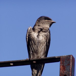 South Texas Bird Watching. Purple Martin n Arroyo City at Atascosa Outlook South Texas Bed and Breakfast.