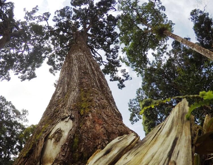 Quần thể cây pơmu ở huyện Tây Giang thuộc hai xã Axan và Tr'Hy, nằm trên núi Zi'liêng, với tổng diện tích khoảng 450ha nằm ở độ cao gần 1.500 mét so với mực nước biển. Trong đó, nhiều cây pơmu cổ thụ có tuổi thọ đo được là hơn 1.800 năm. (Ảnh: Hùng Võ/Vietnam+)