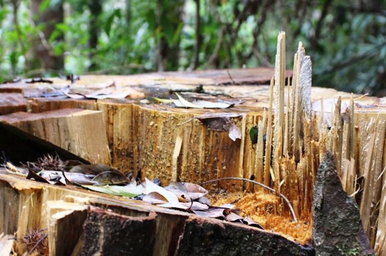 """Một gốc cây cổ thụ bị """"lâm tặc"""" chặt hạ trong tháng 7/2018, tại lâm phần của Công ty Trách nhiệm hữu hạn Một thành viên Lâm nghiệp Đắk Tô, tỉnh Kon Tum. (Ảnh: Vietnam+)"""