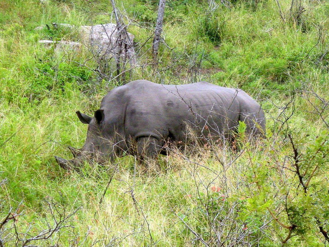 rhino_closeup