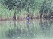 Purple Swamphen at Minsmere (13)