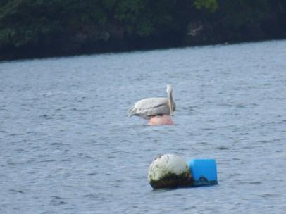 dalmatian-pelican-and-cornwall-trip-7