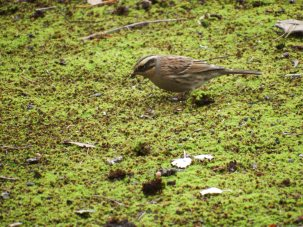 siberian-accentor-other-birds-at-spurn-area-18