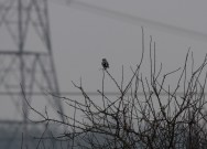 gg-shrike-at-eagland-hill-11