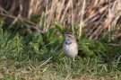 Bluethroat Day (22)