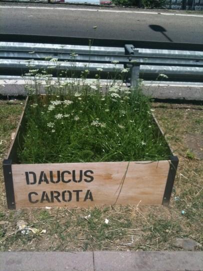 11_Dacus carota_Giugno