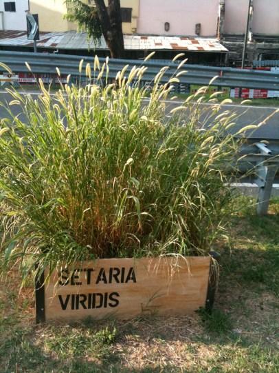 12_Setaria virdis_Luglio