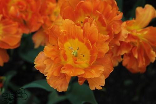 lalele-crete-portocalii