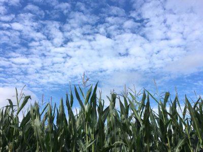 maisvelden in de zon
