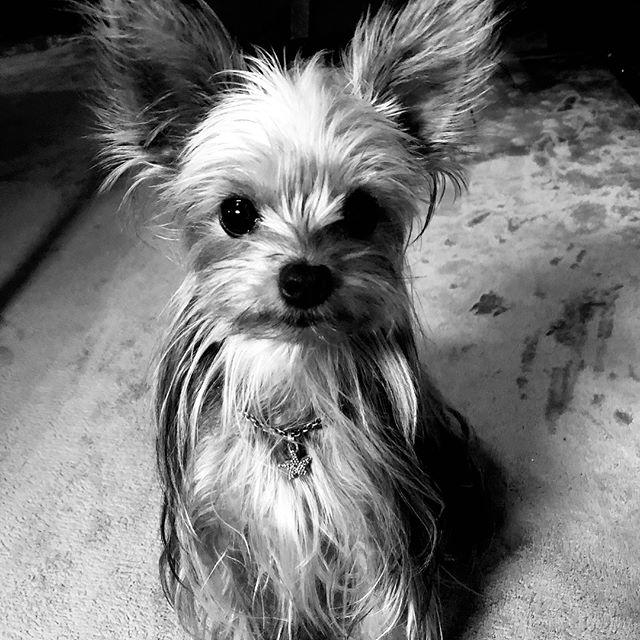 犬の首輪、Allons-y!首輪、ヨークシャテリア、アトリエ・nest 、熊本、オーダー首輪