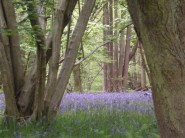 Bluebells under a canopy of trees