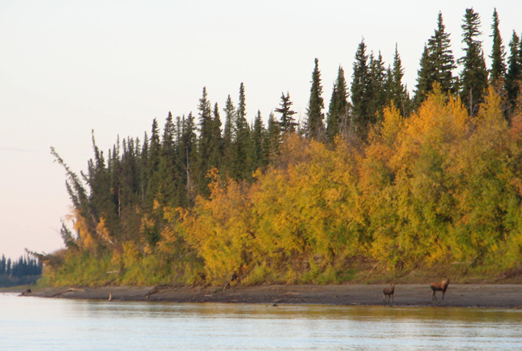 A cow and calf moose along the Koyukuk River. Photo by Angela Gonzalez