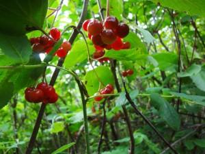 Highbush berries by Eleanor Yatlin