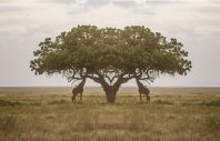 Giraffe Edit