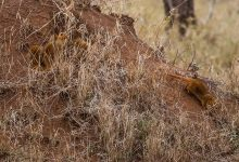 Safari Day 4-15
