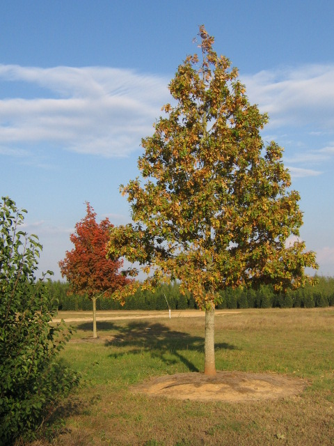 Ruby Spring™ Nuttall Oak Fall Habit