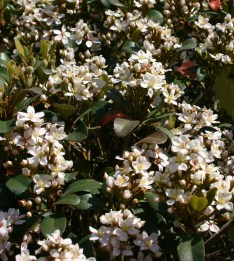 Snowcap® Indian Hawthorn Flowers