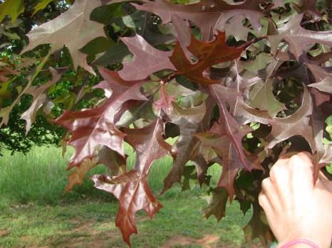 Ruby Spring™ Nuttall Oak Spring Growth
