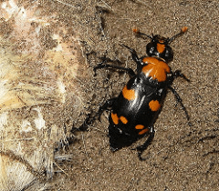 An American Burying Beetle. The species is at critical risk of extinction, yet ecologically important for its role in feeding on carrion.