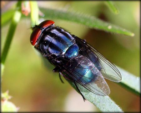 New World screwworm fly. Image Credit: Kathleen Franklin via Flikr