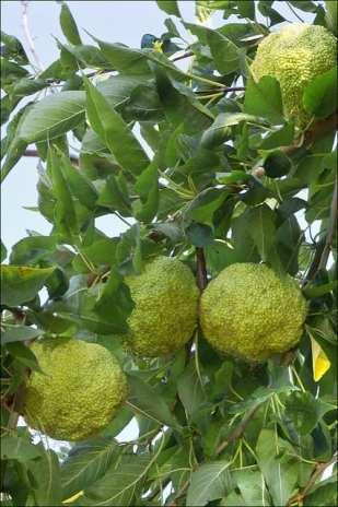 maclura-pomifera