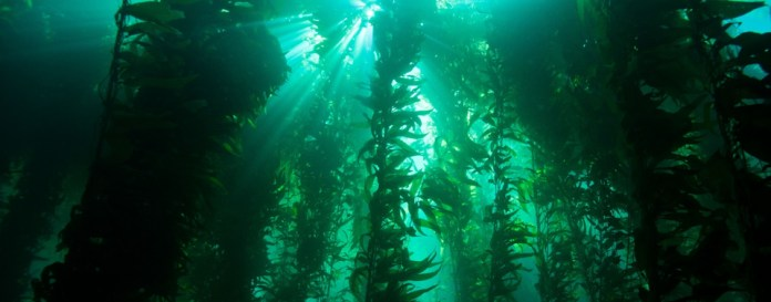 Battle for the Ocean's Giant Kelp Forests