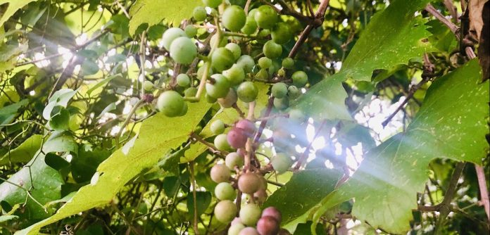 Why Muscadines should be your next favorite fruit