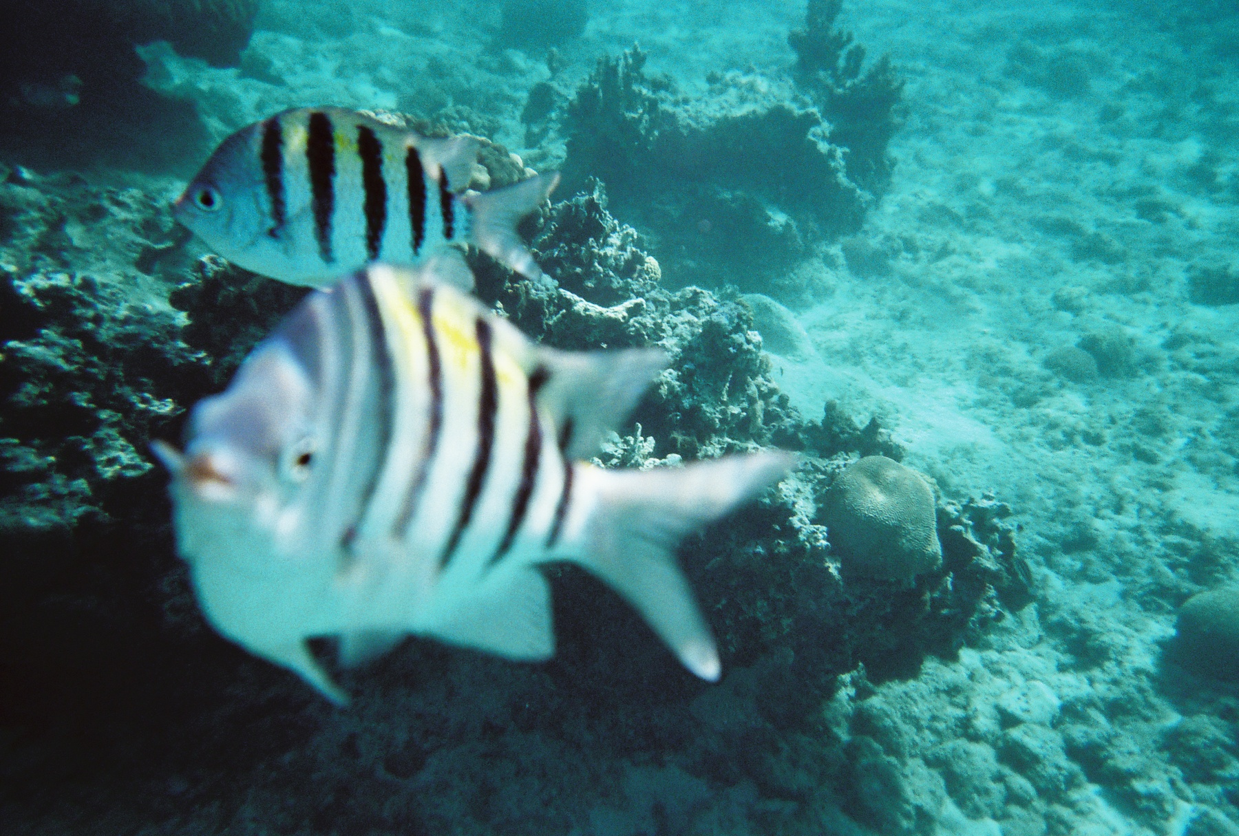Black And White Striped Fish