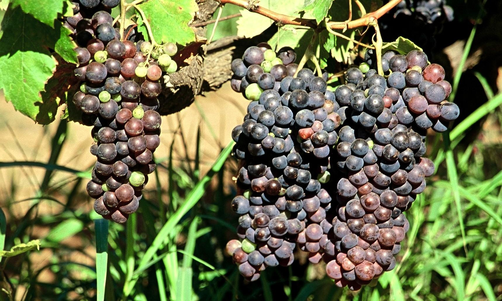 Tinta Negra Mole grapes in Madeira