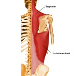 The Latissimus dorsi muscles are large and important for body function, providing a powerful link between the arms and torso.