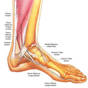flexor hallicus longus muscles
