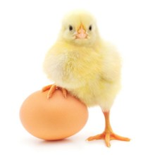Chick with egg.