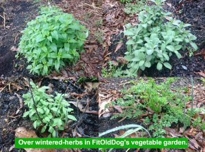 Herbs in FitOldDog's vegetable garden for animal rights.