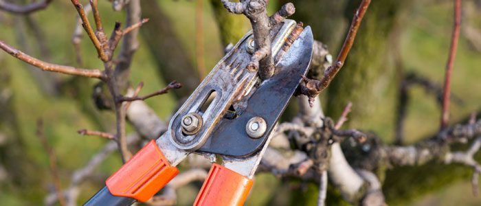 Pruning fruit trees a late winter task