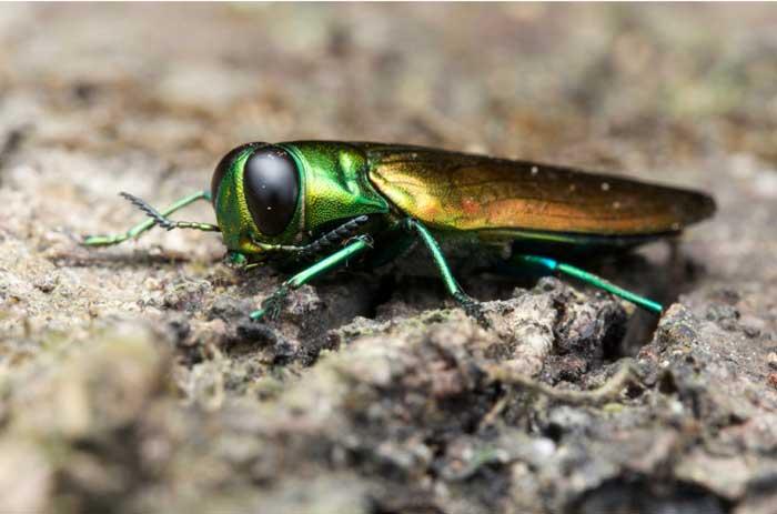 Emerald Ash Borer Awareness Week