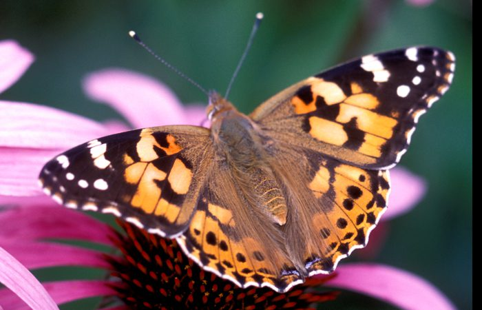 Painted Lady Butterflies are in town