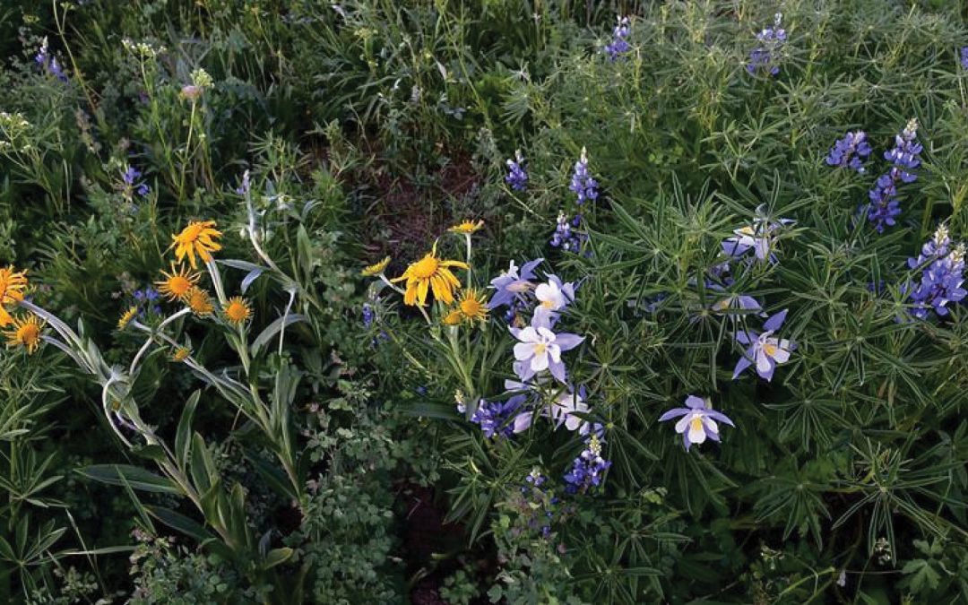 Using Wildflowers in Your Colorado Home Landscaping