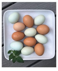 The eggs are a visual treat with blue, green, tan and white eggshells.