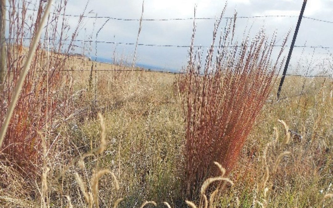 Seeding native grasses in landscapes