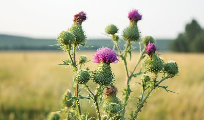 Thistles: The good, the bad and the native