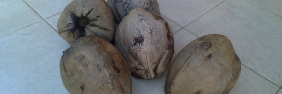 five mature coconuts with husks still on - how to remove coconut husk