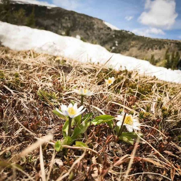 Montana's Absaroka-Beartooth Wilderness Flowers