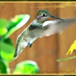 WORDLESS WEDNESDAY – Photography Hummingbirds Part 2