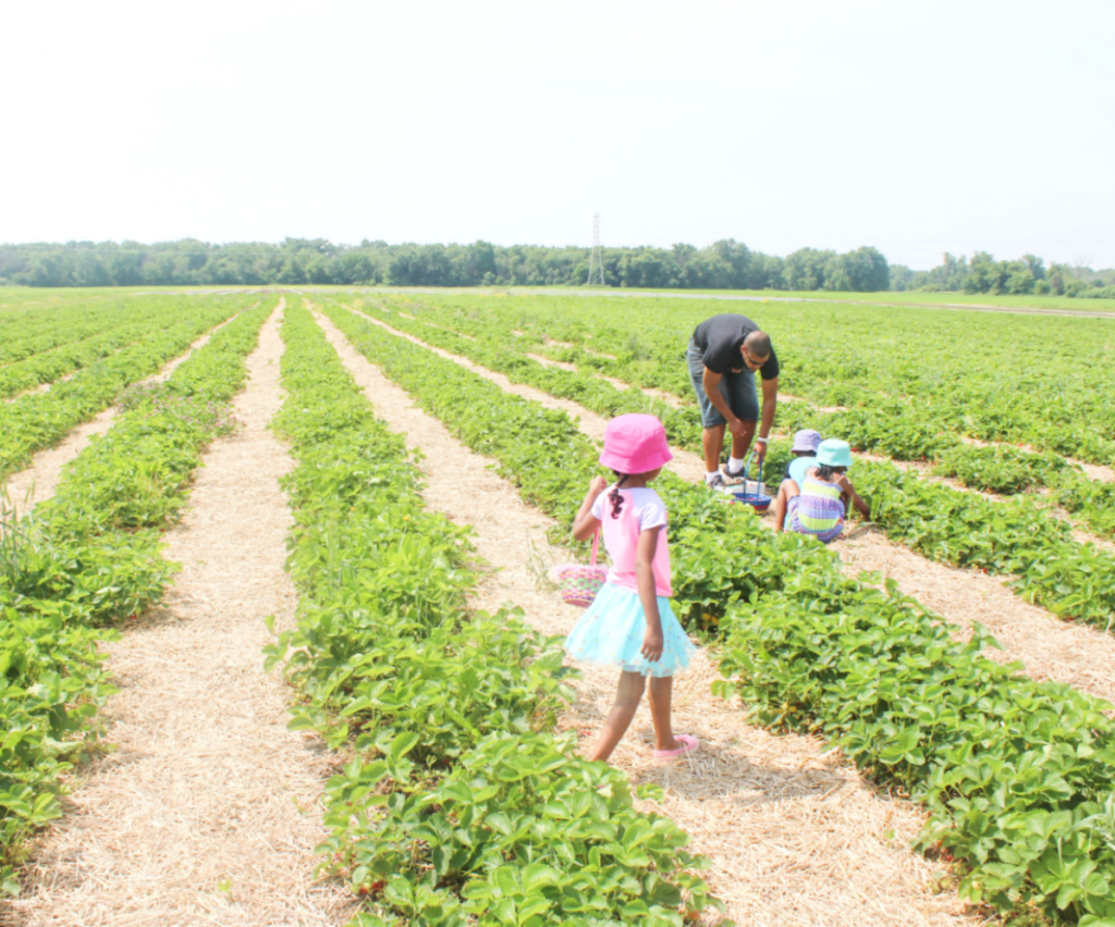 Trip to the Strawberry Farm - Family Outing - Strawberry Picking With Kids - At Home With Zan