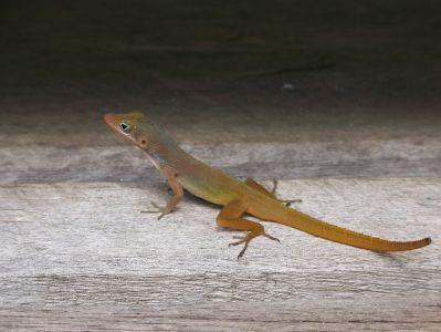 Leapin Lizards