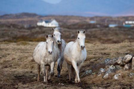 Connemara Pony - Connemara National Park