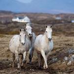 Connemara Ponies - by Rozpravka Photography